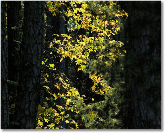 autumn gold, Petit Jean State Park, Arkansas, November 2007