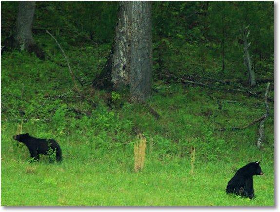 cades cove black bears