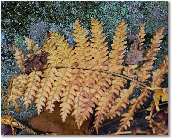 dried fern, Seven Hollows Trail, Petit Jean State Park, Arkansas