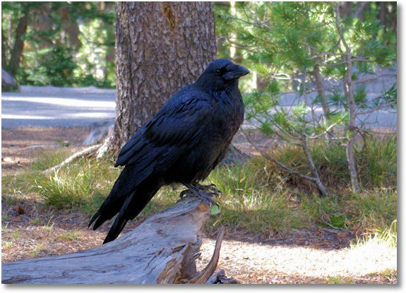 september 15 2007, raven, yellowstone national park