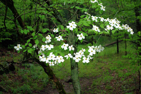 Dogwood blossoms at Elmont Campground, Great Smoky Mountains National Park, Tennessee, 5-3-09
