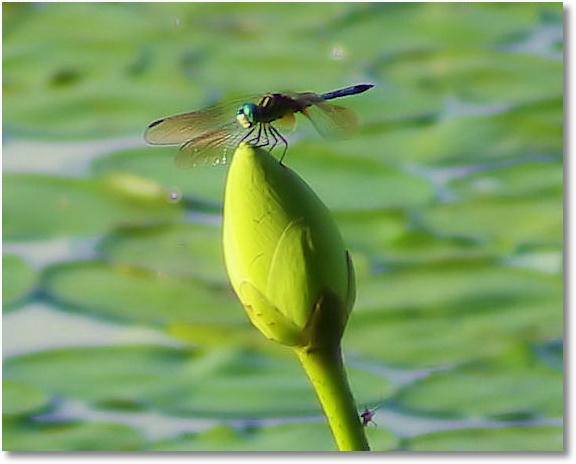 Dragon fly on water lilly bud; Petit Jean State Park, Arkansas 7 26 08
