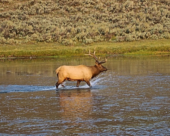 Bull Elk, Madison River, Yellowstone National Park, Wyoming, September 13, 2007