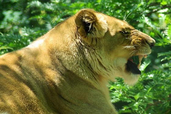 Lioness, Henry Vilas Zoo, Madison, Wisconsin, , June 11, 2007