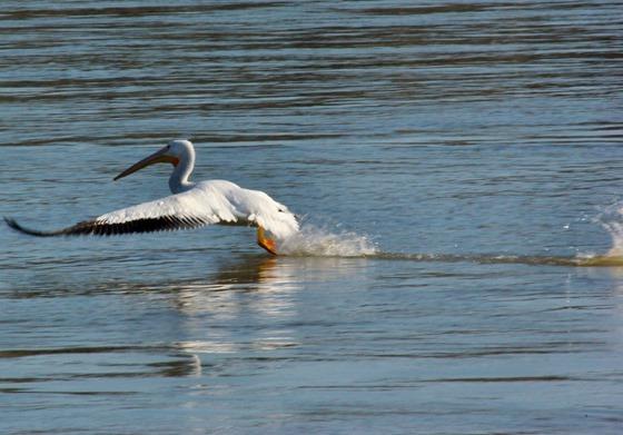 Pelican taking flight, Arkansas River below Dardanelle Dam, February 15, 2007
