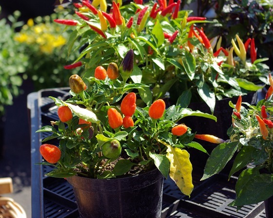 Peppers, Farmers Market, Great Falls Montana, September 1, 2007