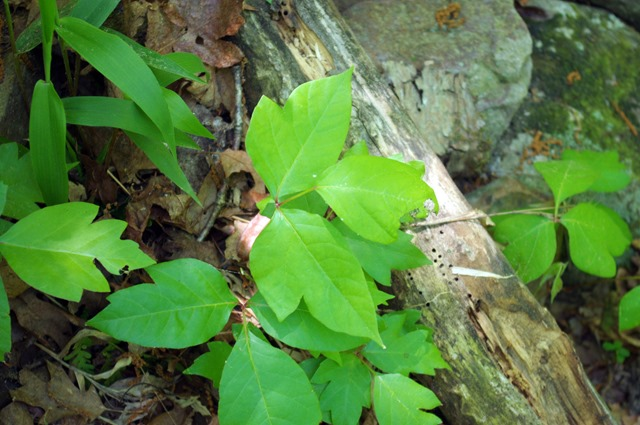Poison ivy, Cedar Falls Trail, Petit Jean State Park, Arkansas