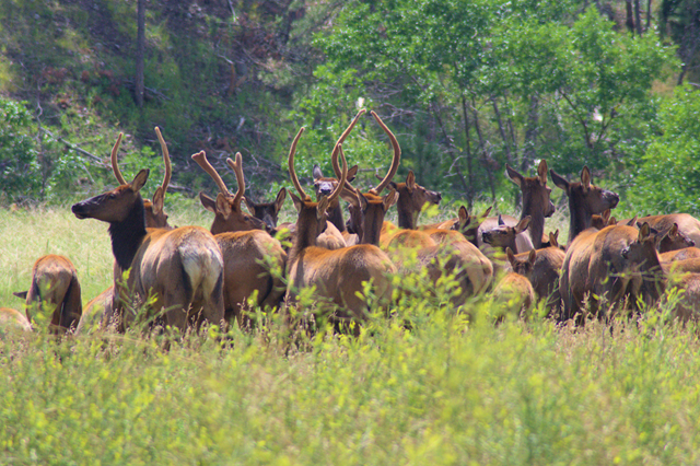 Elk, Custer State Park, South Dakota, August 8, 2014