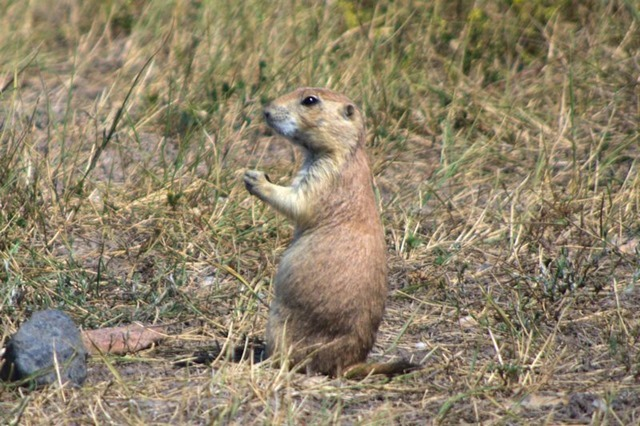 Roberts Prairie Dog Town, Badlands National Park, South Dakota, August 11, 2014
