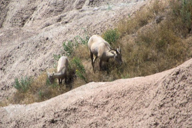 Bighorn sheep, Badlands National Park, South Dakota, August 11, 2014