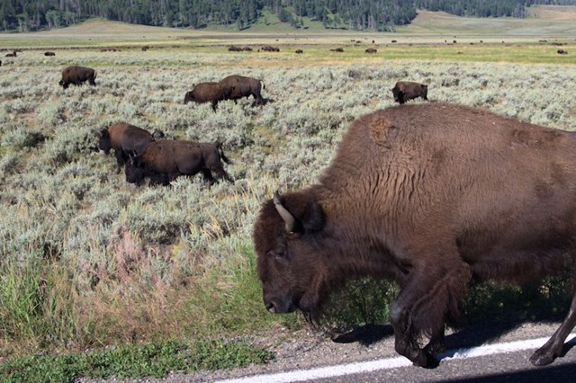 Buffalo (American bison), Lamar Valley, Yellowstone National Park, Wyoming, August 15, 2014