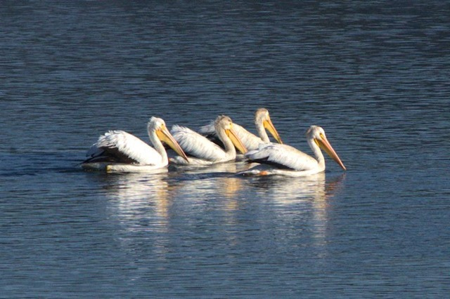 Pelicans, Yellowstone River, Hayden Valley, Yellowstone National Park, August 16, 2014