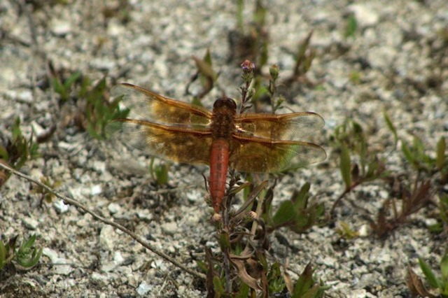 Dragonfly, Firehole Lake area, Yellowstone National Park, Wyoming, August 19, 2014
