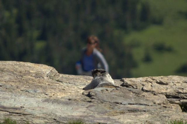Hoary Marmot, Hanging Gardens Trail to Hidden lake Overlook, Glacier National Park, Montana, August 27, 2014