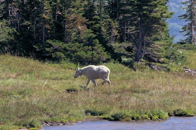Mountain Goat, Hanging Gardens Trail to Hidden lake Overlook, Glacier National Park, Montana, August 27, 2014