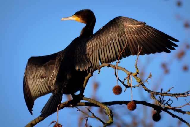 great-cormorant-602782